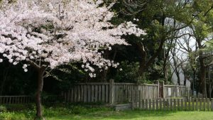 白鳥古墳 桜