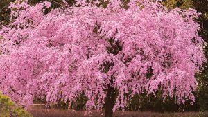 白鳥庭園 桜